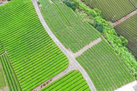空撮した茶畑の写真素材 [FYI03125853]