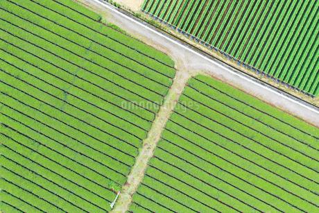 空撮した茶畑の写真素材 [FYI03125854]