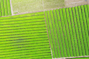 空撮した茶畑の写真素材 [FYI03125855]