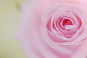 バラ写真 花写真素材の写真素材 [FYI03125863]