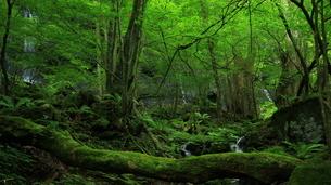 スッカン沢の苔むす秘境の滝と自然の写真素材 [FYI03125897]