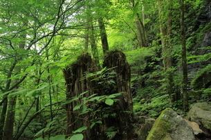 スッカン沢の苔むす秘境の滝と自然の写真素材 [FYI03125906]