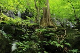 スッカン沢の苔むす秘境の滝と自然の写真素材 [FYI03125913]