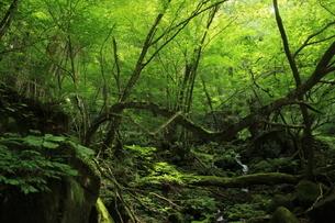 スッカン沢の苔むす秘境の滝と自然の写真素材 [FYI03125915]