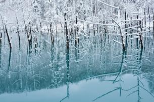 初冬の青い池 美瑛町の写真素材 [FYI03126062]