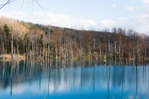 秋の青い池 美瑛町の写真素材 [FYI03126087]