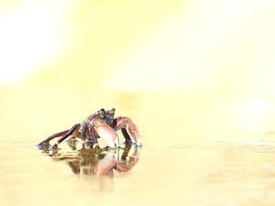 蟹の写真素材 [FYI03126158]