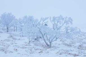 美幌峠の樹氷の写真素材 [FYI03126277]