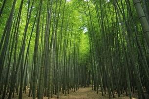 那須高原唐木田の竹林の写真素材 [FYI03126393]