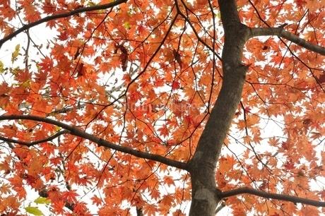 楓の紅葉の写真素材 [FYI03126669]