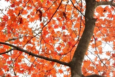 楓の紅葉の写真素材 [FYI03126670]