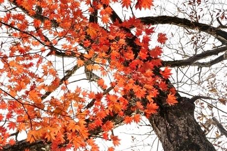 楓の紅葉の写真素材 [FYI03126671]