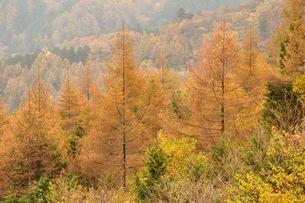 カラマツの黄葉の写真素材 [FYI03126675]