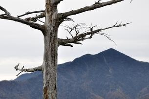 鶏冠山より枯れ木と大菩薩嶺の写真素材 [FYI03126725]