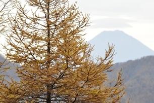 唐松の黄葉と富士山の写真素材 [FYI03126731]