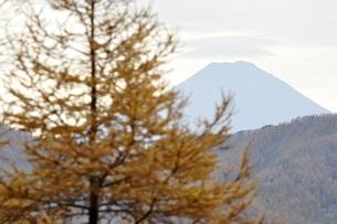 唐松の黄葉と富士山の写真素材 [FYI03126732]
