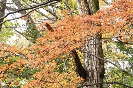 山の楓の紅葉の写真素材 [FYI03126734]