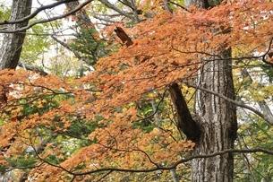 山の楓の紅葉の写真素材 [FYI03126735]