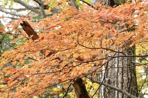 山の楓の紅葉の写真素材 [FYI03126736]