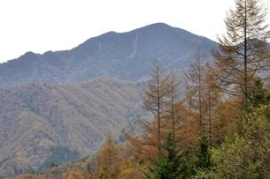 大菩薩嶺とカラマツの黄葉の写真素材 [FYI03126737]