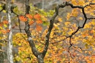 楓の紅葉の写真素材 [FYI03126740]
