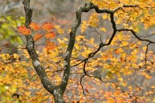 楓の紅葉の写真素材 [FYI03126741]