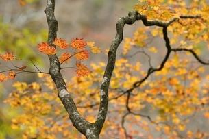 楓の紅葉の写真素材 [FYI03126742]