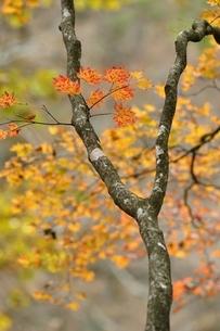 楓の紅葉の写真素材 [FYI03126743]