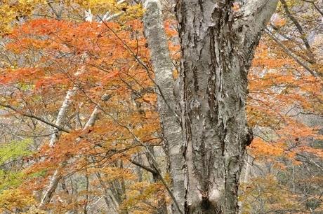 楓の紅葉とダケカンバの大木の写真素材 [FYI03126744]