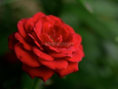 真っ赤なバラの写真素材 [FYI03126808]
