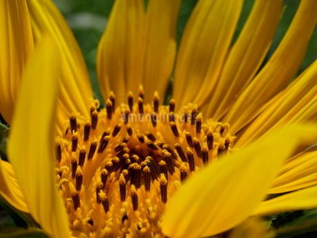 ヒマワリの花のアップの写真素材 [FYI03126813]