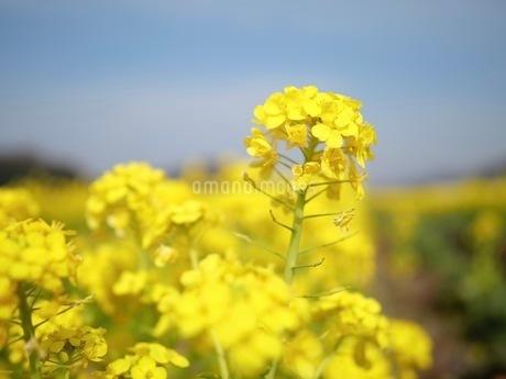アブラナの花の写真素材 [FYI03126814]