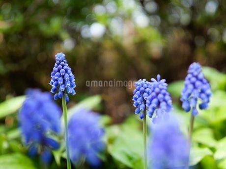 ムスカリの花の写真素材 [FYI03126816]