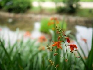 日陰のヒメヒオウギズイセンの花の写真素材 [FYI03126817]