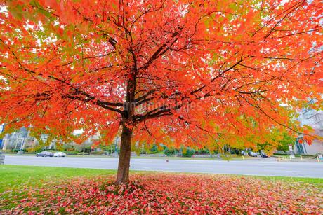 紅葉の木の写真素材 [FYI03126926]