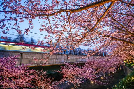 三浦海岸の河津桜と電車の写真素材 [FYI03126966]