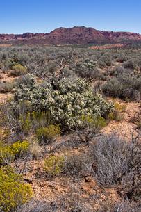 砂漠地帯に咲く植物たちと背景に聳える赤い砂岩性の堆積岩の山の写真素材 [FYI03127075]