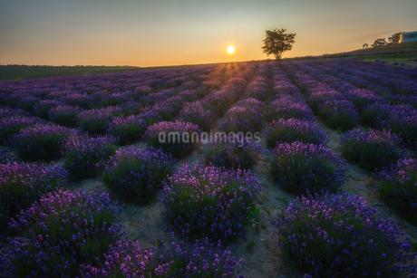 朝陽を浴びるラベンダーの写真素材 [FYI03127192]