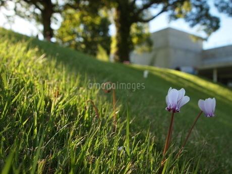 クレマチスと芝の写真素材 [FYI03127217]