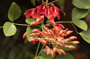 《植物》アメリカデイゴの写真素材 [FYI03127297]