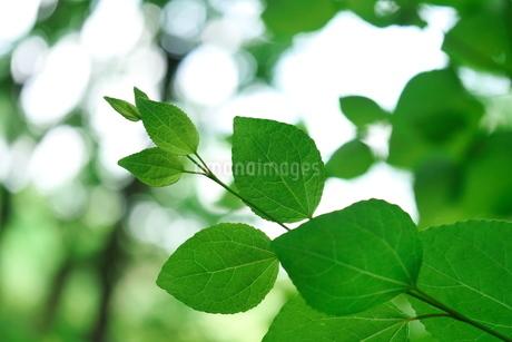 みどりの小枝と葉の写真素材 [FYI03127306]