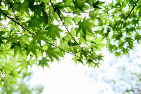 明るいモミジの小枝と葉の写真素材 [FYI03127312]