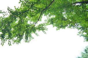 上空を覆う明るい緑の枝の写真素材 [FYI03127318]