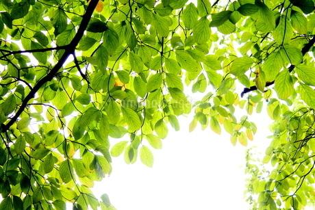 明るいハナミズキの枝と葉の写真素材 [FYI03127320]