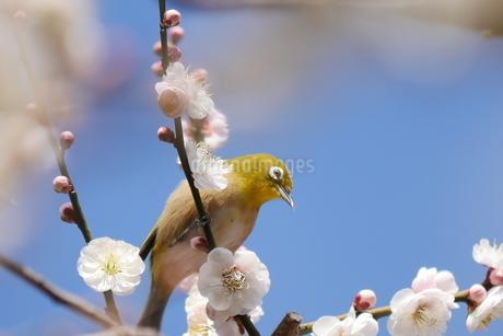 梅の小枝に止まるメジロの写真素材 [FYI03127332]