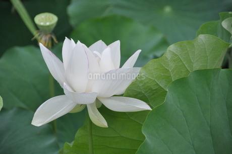 真っ白なハスの花咲く池の写真素材 [FYI03127517]