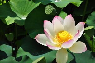 ハスの花咲く頃の写真素材 [FYI03127531]