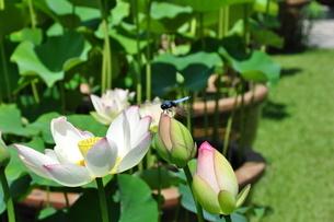 トンボとハスの花の写真素材 [FYI03127532]