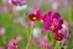 赤紫色のコスモスの写真素材 [FYI03127545]