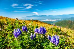 鷲ヶ峰稜線トリカブトお花畑と中央アルプスの山並みの写真素材 [FYI03127567]